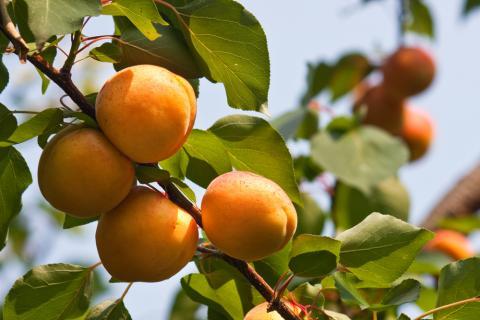 Katy variety apricot tree