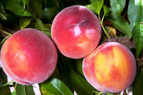 Eva's Pride peaches
