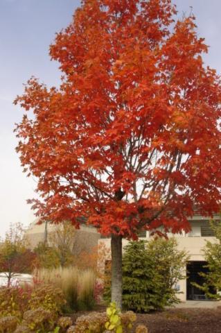 autumn fantasy maple tree