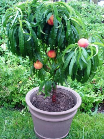 PixZee miniature peach tree