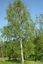 white birch tree