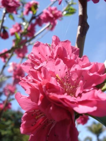 Red Baron peach tree flowers