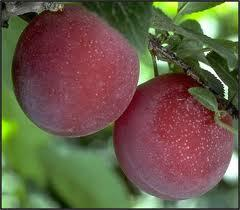 delicious red plum fruits