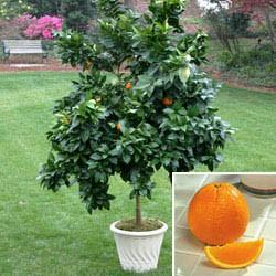 washington navel orange tree in patio pot