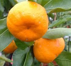 satsuma mandarin tangerines