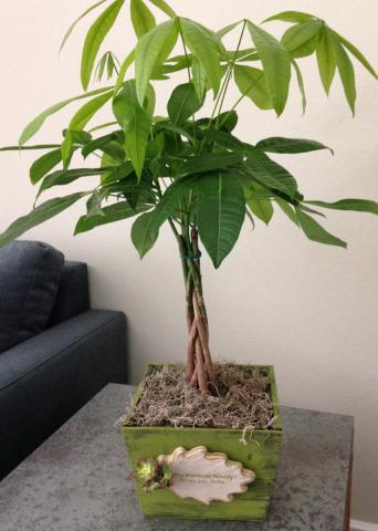 money tree, pachira aquatica, feng shui tree