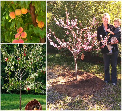 Fruit trees in mini-orchard
