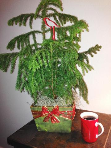 Norfolk Island Pine in container with Christmas theme