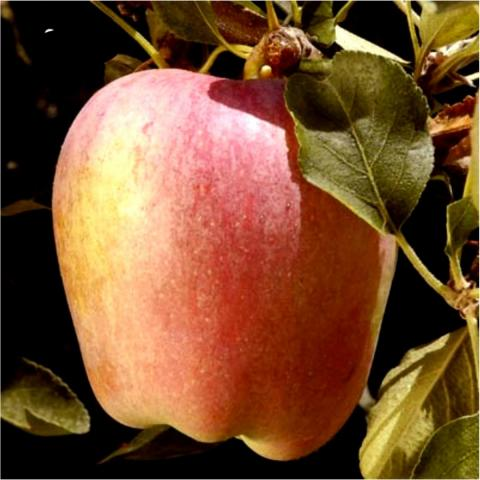 red, sweet and delicious 'Anna' apple