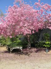 tabebuia tree, pink blossoms, spring tree in bloom