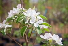 apple tree branch in bloom, pink and white, smells heavenly