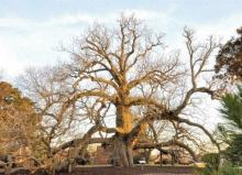 magnolia tree, cucmber tree,