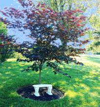 gorgeous redbud tree in full summer leaves