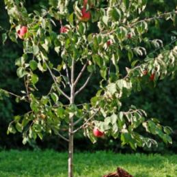 Anna apple tree