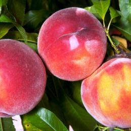 Eva's Pride peaches