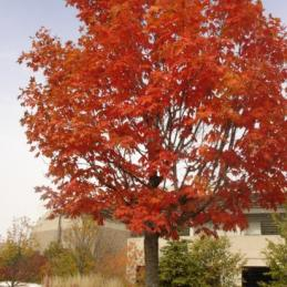 autumn fantasy maple tree