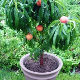 PixZee miniature peach tree