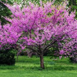 eastern redbud tree 'forest pansy'