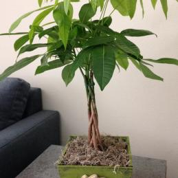 money tree, pachira aquatica, feng shui tree